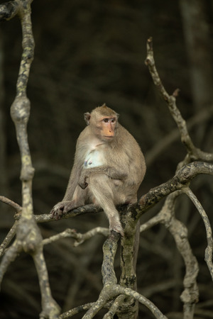 Long-tailed macaque sits on tangled dead branches