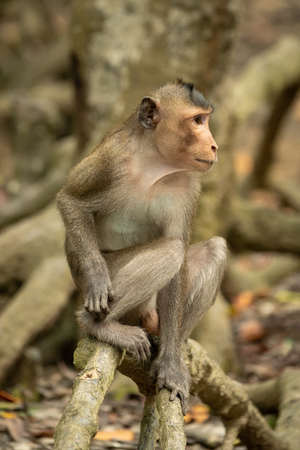 Long-tailed macaque sits on mangrove looking right Banco de Imagens