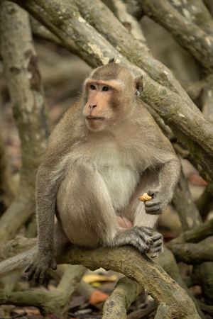 Long-tailed macaque sits on mangrove holding food