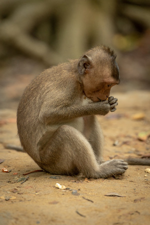 Long-tailed macaque sits eating from both paws