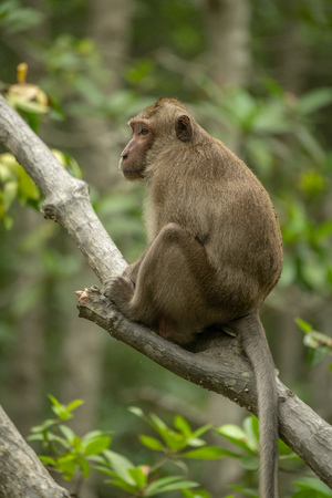 Long-tailed macaque sits on branch among leaves Banco de Imagens