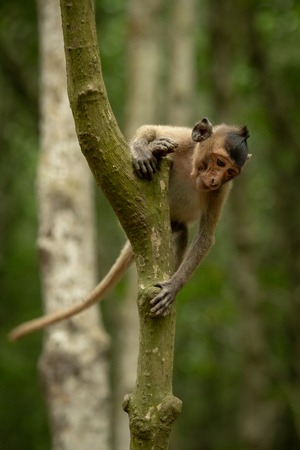 Long-tailed macaque starts climbing down tree trunk