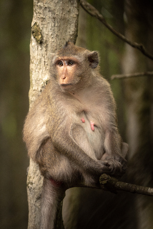 Long-tailed macaque sits in tree looking left Banco de Imagens