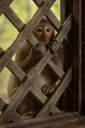 Long-tailed macaque sitting holding wooden trellis window