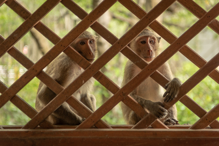 Long-tailed macaques look through wooden trellis window