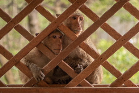 Long-tailed macaques sit together behind wooden trellis Banco de Imagens