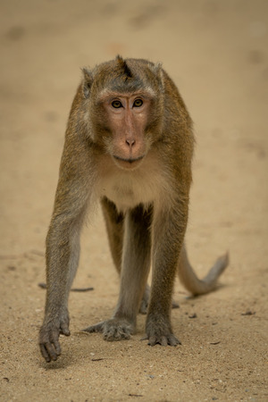 Long-tailed macaque walks on sand lifting paw