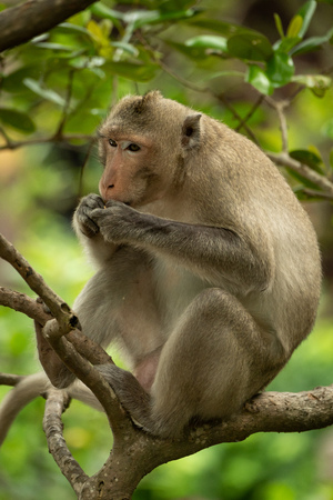 Long-tailed macaque sits in branches eating biscuit