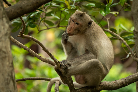 Long-tailed macaque sits in tree eating biscuit