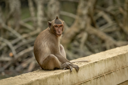 Long-tailed macaque sits facing camera on wall Banco de Imagens