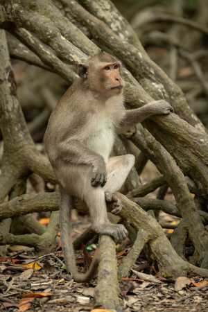 Long-tailed macaque sits on tangled mangrove roots Banco de Imagens