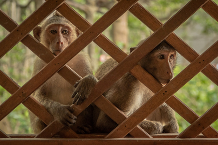 Long-tailed macaques sit staring through wooden trellis