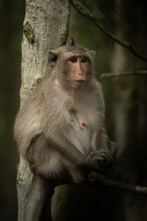 Long-tailed macaque sits in tree looking right Banco de Imagens