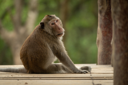 Long-tailed macaque sits looking back on bridge Banco de Imagens