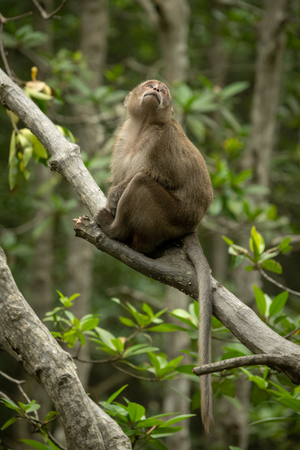 Long-tailed macaque sits in tree looking up