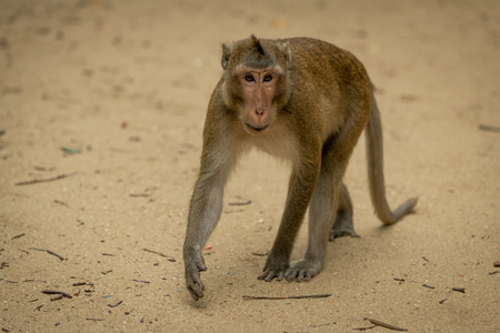 Long-tailed macaque walks among twigs on sand