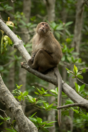 Long-tailed macaque sits on branch looking mournful