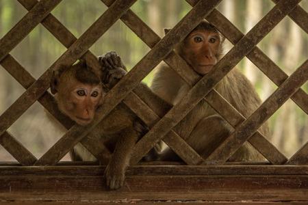 Long-tailed macaques sit looking through trellis window Banco de Imagens
