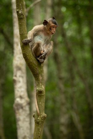 Long-tailed macaque sits looking down from tree