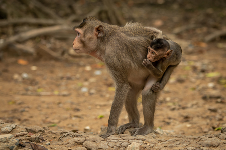 Long-tailed macaque stands carrying baby on back