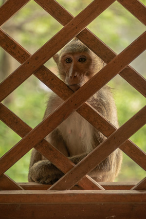 Long-tailed macaque sits outside wooden trellis window Banco de Imagens