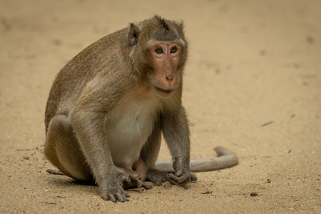 Long-tailed macaque sits staring on sandy ground Banco de Imagens