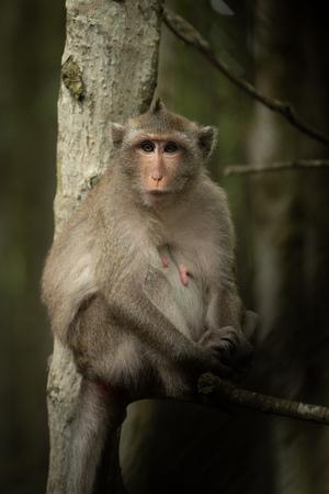 Long-tailed macaque sits in tree facing camera Banco de Imagens