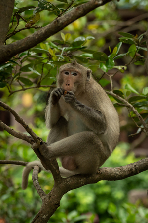 Long-tailed macaque sits on branch eating biscuit