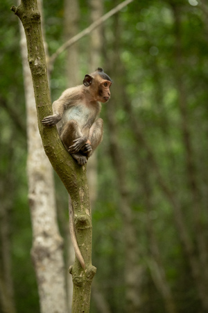Long-tailed macaque sits in tree looking out