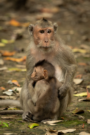 Long-tailed macaque sits with baby among leaves
