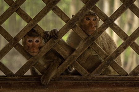 Long-tailed macaques sit staring through trellis window