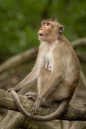 Long-tailed macaque sits on root looking amazed