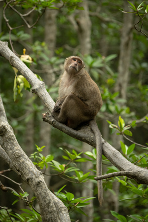 Long-tailed macaque sits in tree turning head Banco de Imagens