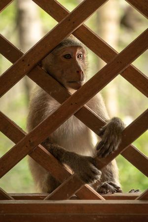 Long-tailed macaques sits staring through wooden trellis