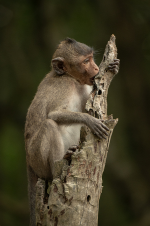 Baby long-tailed macaque sits chewing tree stump