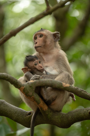 Long-tailed macaque nursing baby sitting on branch