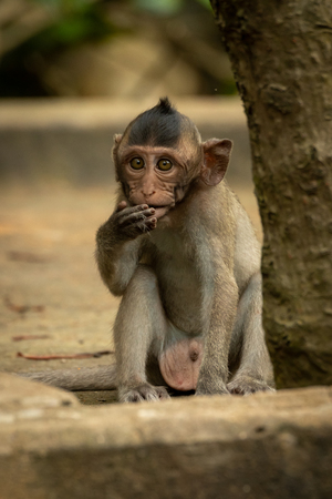 Baby long-tailed macaque sits by tree trunk