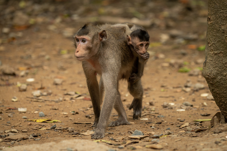 Long-tailed macaque carries baby over leafy ground