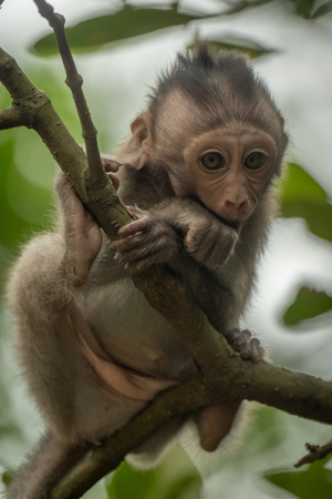 Baby long-tailed macaque sitting in leafy tree Banco de Imagens