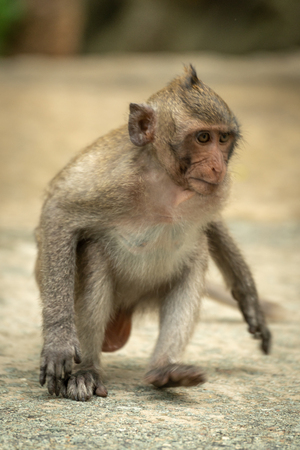 Baby long-tailed macaque runs on concrete path