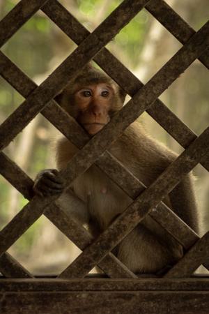 Long-tailed macaque sits behind wooden trellis window Banco de Imagens