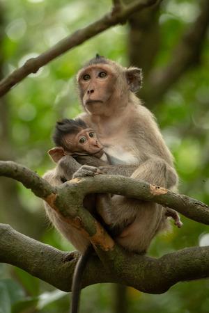 Long-tailed macaque nurses baby on tree branch Banco de Imagens
