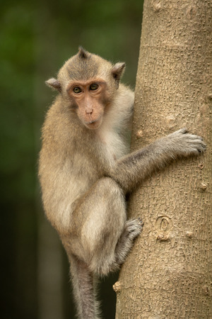 Long-tailed macaque clinging to trunk of tree