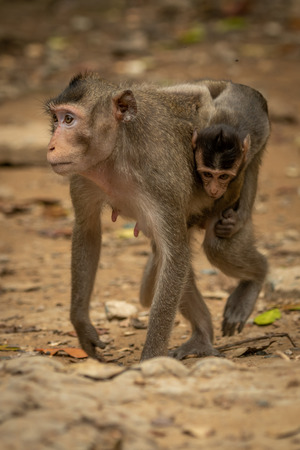 Long-tailed macaque carries baby over rocky ground