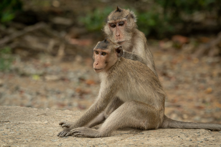 Long-tailed macaque grooming mate on concrete path