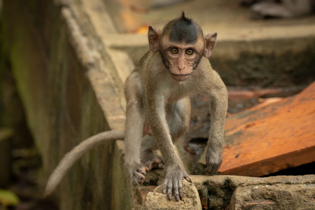 Baby long-tailed macaque on wall faces camera Banco de Imagens