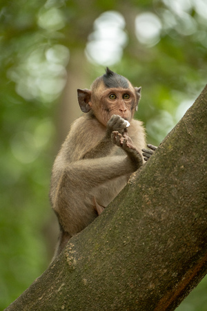 Long-tailed macaque bites shiny object on branch Banco de Imagens