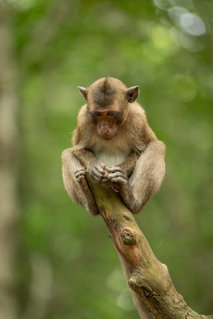 Baby long-tailed macaque on stump looking down Banco de Imagens