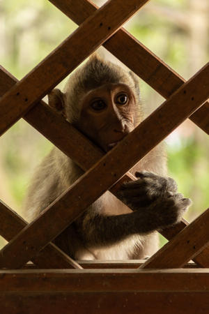 Long-tailed macaque clings to wooden trellis window