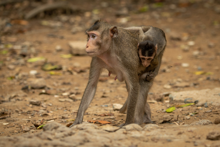Long-tailed macaque carries baby over sandy rocks